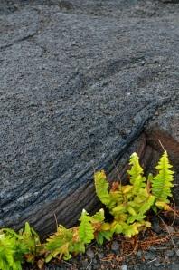 Fern growing in lava rock