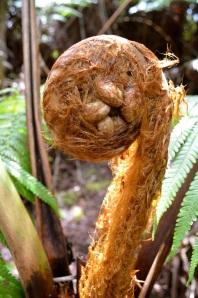 Coiled hapu'u fern