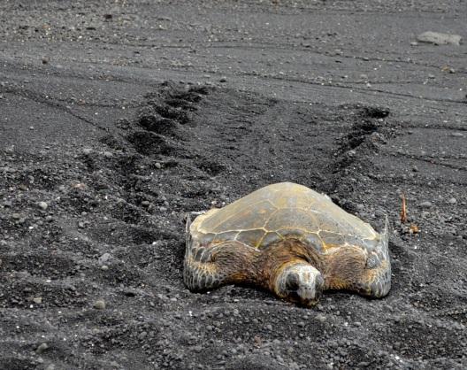 Turtle tracks