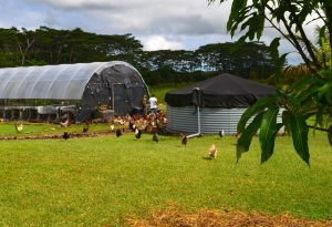 Chickens Hilo Coffee Mill